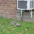 2007.11.8 家附近小花園裡總是有許多松鼠