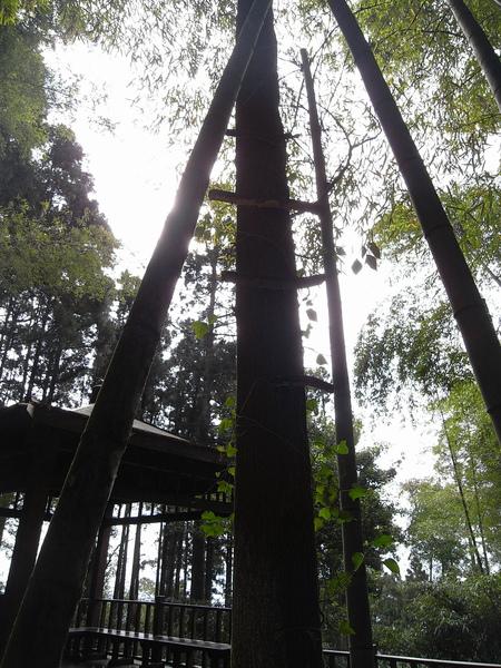 不知道為什麼假在許多樹上像梯子般的東西
