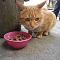 """遇見一隻和花花一樣的橘子貓叫""""豬頭"""""""