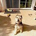 表姐家的Dog No.1 看不出來吧!其實他是雪納瑞,許久沒修毛..