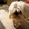 Dog No.2 拖把造型非常討喜的拉薩犬