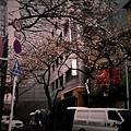 今年太冷了!櫻花都還沒開