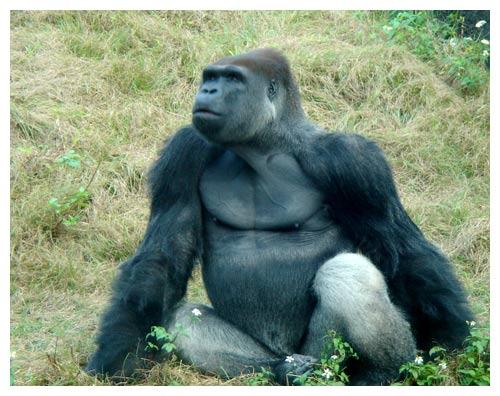 豪邁的黑猩猩
