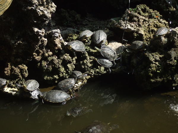 放生池中多不勝數的放生龜