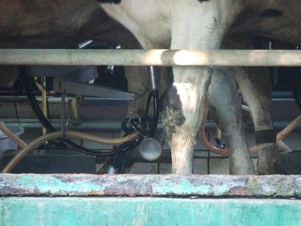 套上擠奶器正在被擠的牛媽媽