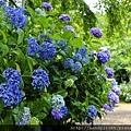 花團錦簇紫陽花