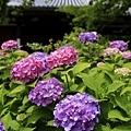 盛開的紫陽花
