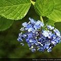 渦卷紫陽花