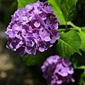 烈日下的紫陽花