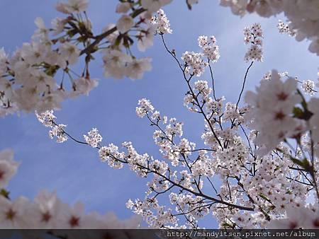 陽光下燦開的櫻花