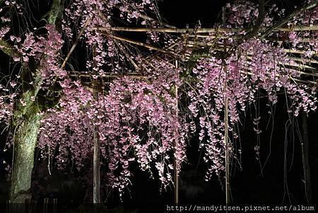 平安神宮夜櫻