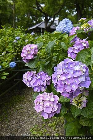 藤森神社第一紫陽花苑