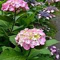 マダムブルムコック紫陽花(推測)
