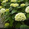 純白到淡綠的紫陽花