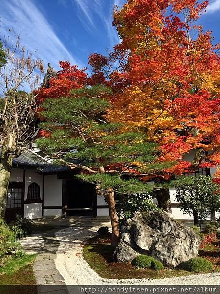 圓光寺奔龍庭旁的燦爛楓樹