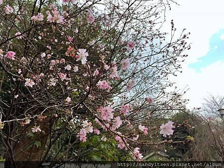 平野神社的十月櫻