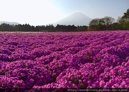 富士山腳下賞芝櫻