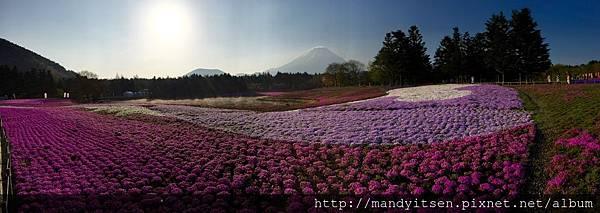 富士山腳下的壯觀芝櫻