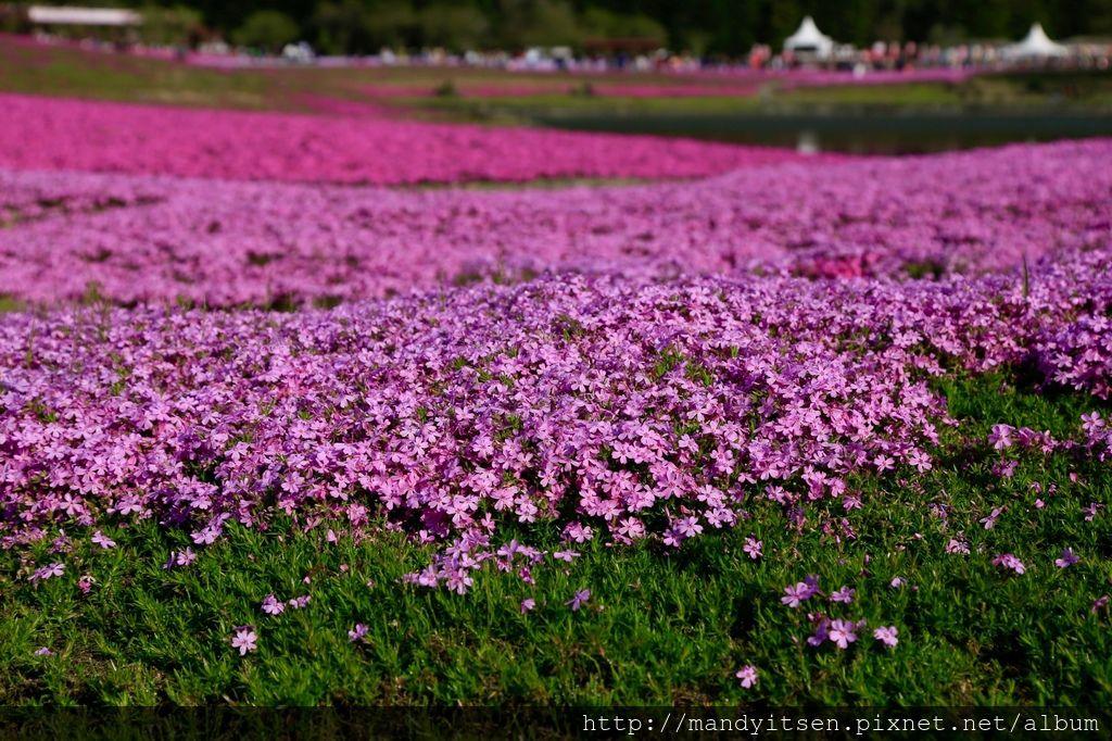 深淺粉色芝櫻