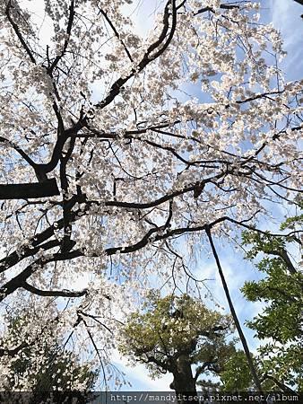 車折神社的溪仙櫻