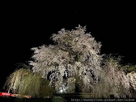 獲選為日本名櫻的祇園枝垂桜