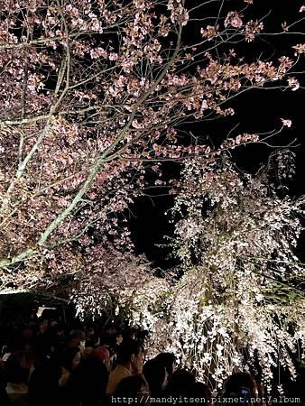 滿開的枝垂櫻下擠滿了觀眾