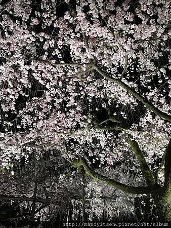 滿開的枝垂櫻,壯觀的美