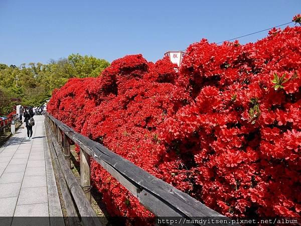 火紅色的杜鵑花參道