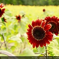 不同品種的向日葵