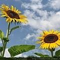 盛夏的花:向日葵