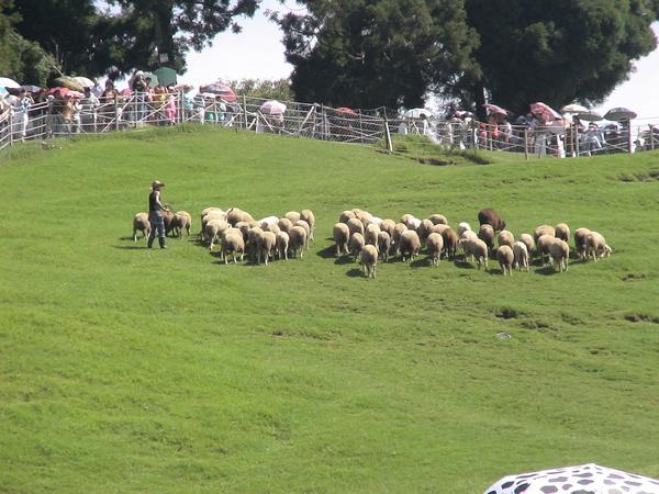 綿羊出來溜溜-1