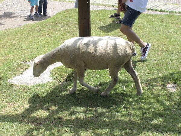 放風的綿羊