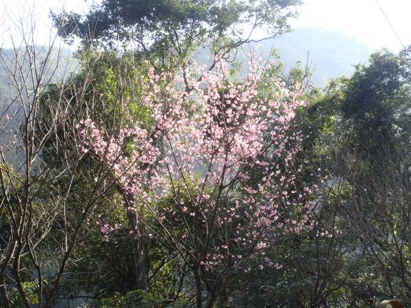 途中遇見美麗的櫻花