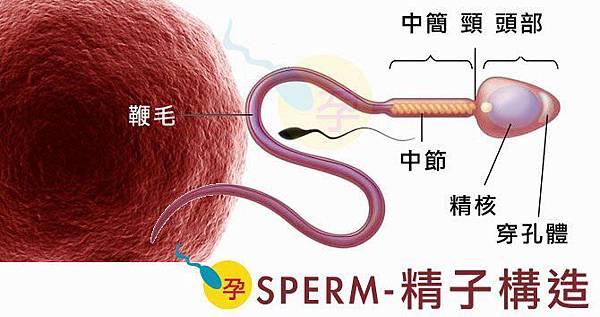 精子構造.jpg