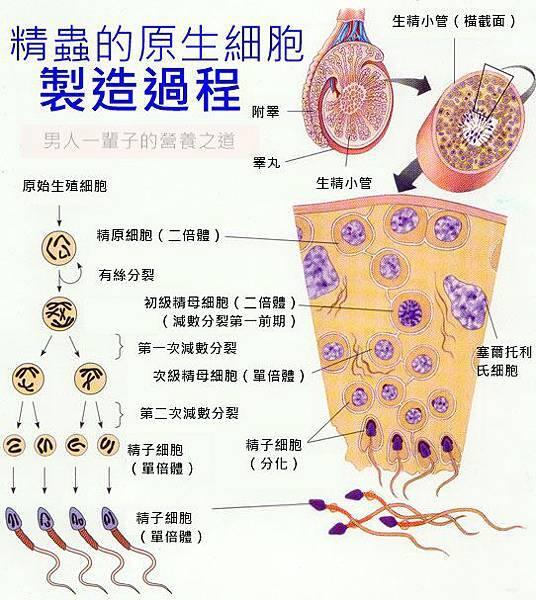 精蟲的原生細胞製造過程.jpg