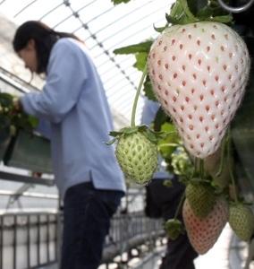 種植白色草莓
