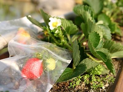 穿衣服的草莓