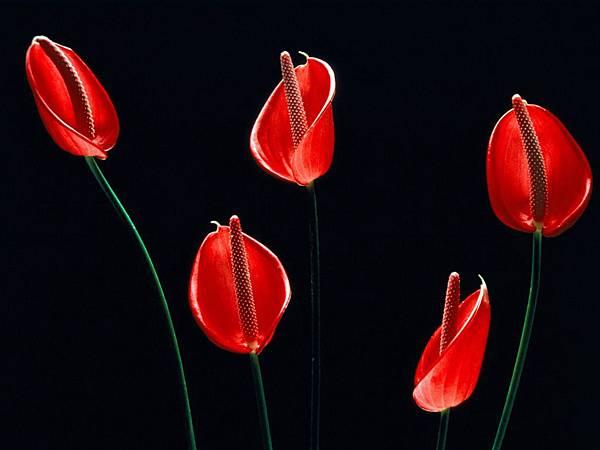 red-and-black-flowers-wallpaper.jpg