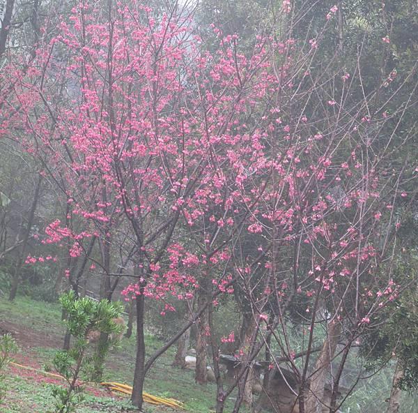 990202迷霧中的櫻花2
