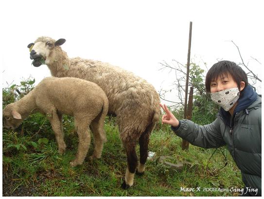 路上有偷跑出來的羊兒
