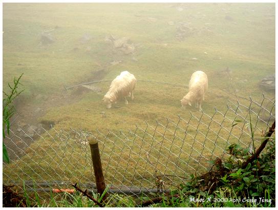 雨中的羊都變中分了