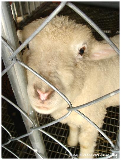 小羊~~!!