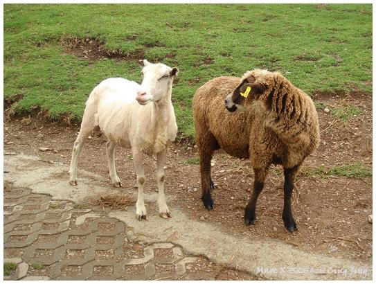 剛剛城堡內那對couple羊的長大版