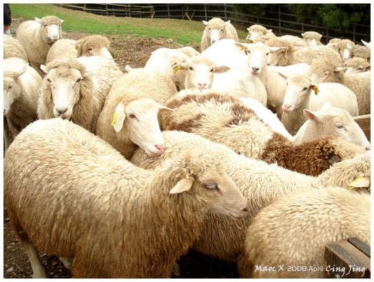 牧羊犬來趕羊了