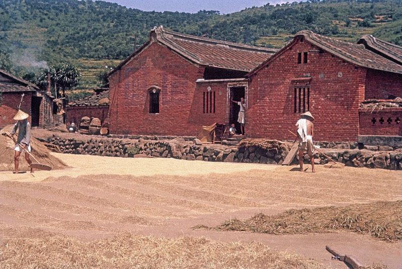 1956年,在台湾的村子晒稻谷.jpg