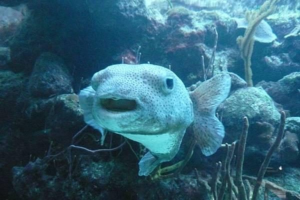 「白目」魚