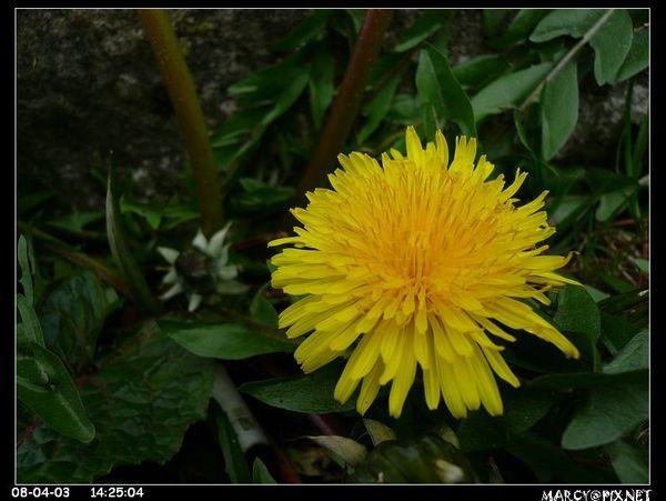 塔塔加路邊小花
