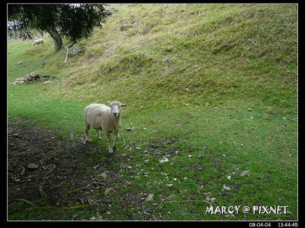 這隻綿羊兒好乖