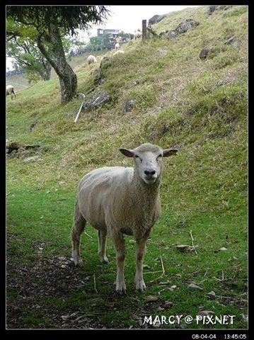 可愛的羊羊