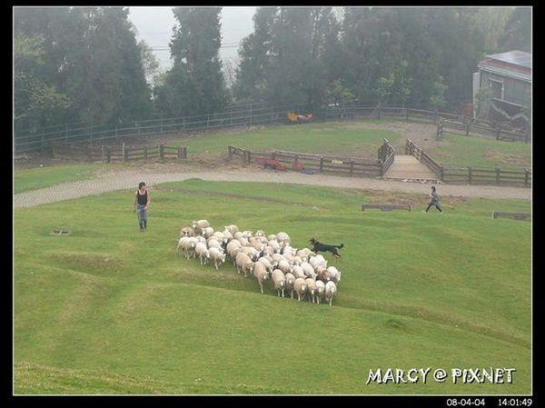 牧羊狗趕羊..